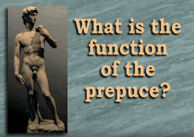 What is the function of the prepuce